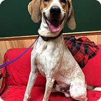 Adopt A Pet :: Goofy - Maryville, MO