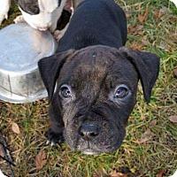 Adopt A Pet :: Chipmunk - Dayton, OH