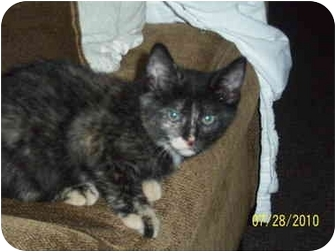 Domestic Shorthair Kitten for adoption in Cleveland, Ohio - Lucy