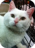 Domestic Shorthair Cat for adoption in Modesto, California - Sweetie Pie