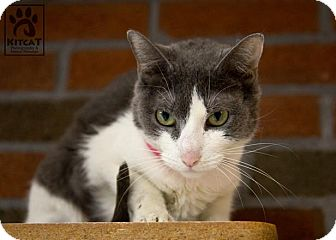 Domestic Shorthair Cat for adoption in Lancaster, Massachusetts - Daisy