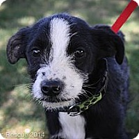 Adopt A Pet :: Peter - Broomfield, CO