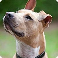 Adopt A Pet :: Beefcake - Framingham, MA