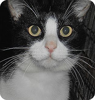 Domestic Shorthair Cat for adoption in Chattanooga, Tennessee - Barnaby