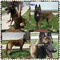 Adopt A Pet :: Simba - Pompano Beach, FL