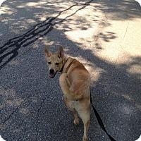 Adopt A Pet :: Piper (fostered in Maine) - Cranston, RI