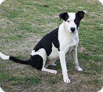 Border Collie Mix Dog for adoption in Stockton, California - David