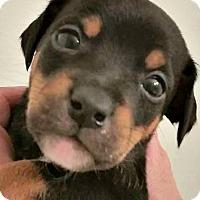 Adopt A Pet :: Malachi - Indianapolis, IN
