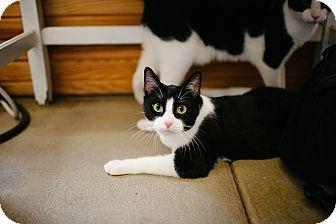 Domestic Shorthair Cat for adoption in Lexington, Kentucky - Miller