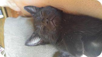 Domestic Shorthair Kitten for adoption in Minneapolis, Minnesota - Marlena