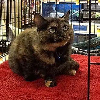 Domestic Mediumhair Cat for adoption in Garner, North Carolina - Kimber