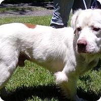 Adopt A Pet :: Bruiser - Gainesville, FL
