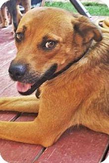 German Shepherd Dog Dog for adoption in Gretna, Nebraska - Molly *Pending Heartworm Treatment*