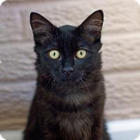 Adopt A Pet :: Inky - Troy, MI