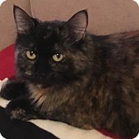 Domestic Longhair Cat for adoption in Toronto, Ontario - Elsa