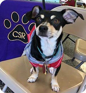 Dachshund/Miniature Pinscher Mix Dog for adoption in North Richland Hills, Texas - Dylan