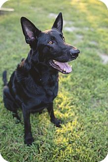 German Shepherd Dog Dog for adoption in Morrisville, North Carolina - Onyx