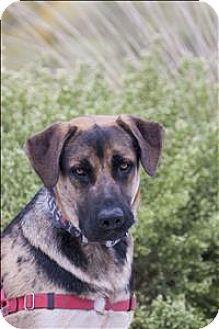 Shepherd (Unknown Type) Mix Dog for adoption in Albuquerque, New Mexico - Shakka
