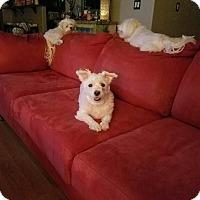 Adopt A Pet :: Arya - Las Vegas, NV