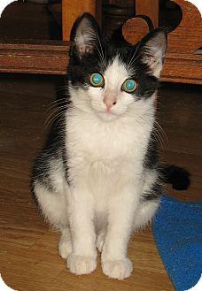 Domestic Shorthair Kitten for adoption in Queensbury, New York - Phoenix