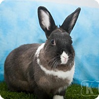 Dutch for adoption in Pflugerville, Texas - Big Mama