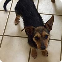 Adopt A Pet :: Abby - Austin, TX