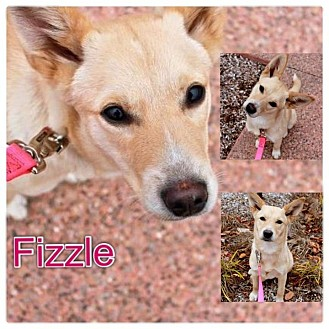 Carolina Dog/Feist Mix Puppy for adoption in Garden City, Michigan - Fizzle