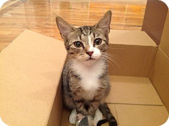 Domestic Shorthair Kitten for adoption in Brooklyn, New York - Egon