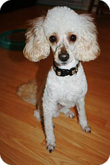 Poodle (Miniature) Dog for adoption in Douglas, Ontario - Rowan (Roey)