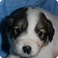 Adopt A Pet :: Scout - Stilwell, OK