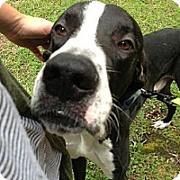 Adopt A Pet :: Sampson - Virginia Beach, VA