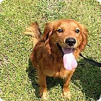 Adopt A Pet :: Zach - Murrells Inlet, SC
