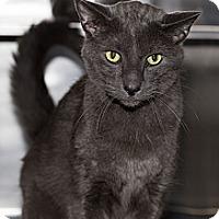 Adopt A Pet :: Brad - Lombard, IL