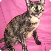 Domestic Shorthair Cat for adoption in Bloomsburg, Pennsylvania - Twinkle