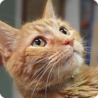 Domestic Shorthair Cat for adoption in Toledo, Ohio - EDDIE