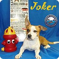 Adopt A Pet :: Joker - Arcadia, FL