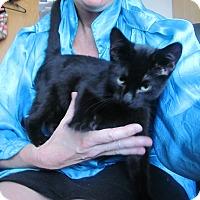 Adopt A Pet :: Humphrey- Charming Kitty'11 - New York, NY