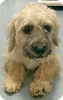 wheaten terrier rescue colorado boulder co cairn terrier wheaten terrier mix meet 9709