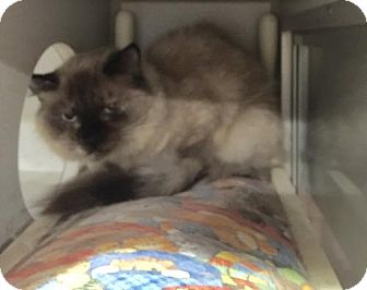 Himalayan Cat for adoption in Baltimore, Maryland - Iman - Pending Medical