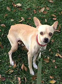 Terrier (Unknown Type, Medium)/Chihuahua Mix Dog for adoption in Santa Clarita, California - Tami