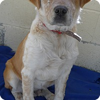 Adopt A Pet :: Ace - Manning, SC