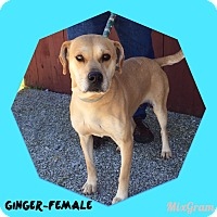 Adopt A Pet :: Ginger (reduced fee!) - Windham, NH