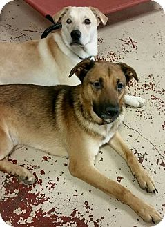 Labrador Retriever/German Shepherd Dog Mix Dog for adoption in Struthers, Ohio - Rusty & Sandy BLIND BONDED PAI