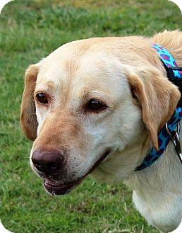 Labrador Retriever Mix Dog for adoption in Huntsville, Alabama - Jesse