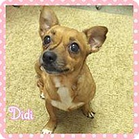 Chihuahua Mix Dog for adoption in Jasper, Indiana - DiDi
