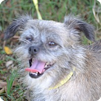 Shih Tzu/Terrier (Unknown Type, Small) Mix Dog for adoption in Springfield, Virginia - Jasmine