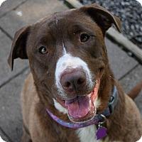 Adopt A Pet :: Shyla - Pontiac, MI