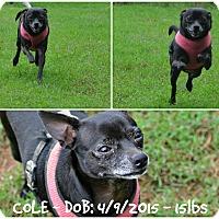 Chihuahua Dog for adoption in Siler City, North Carolina - Cole