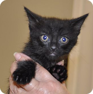 Domestic Shorthair Kitten for adoption in Sunrise Beach, Missouri - Snickers