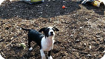 Toy Fox Terrier/Chihuahua Mix Puppy for adoption in Weeki Wachee, Florida - Farrah